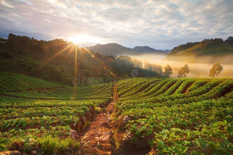 Nebelhafter Morgensonnenaufgang im Erdbeergarten an Doi ANG-khang stockfotografie