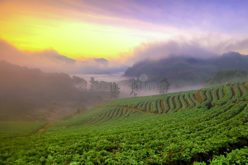 Nebelhafter Morgensonnenaufgang im Erdbeergarten an Doi ANG-khang Berg von Grenze Thailands Birma, Chiangmai, Thailand stockfotos