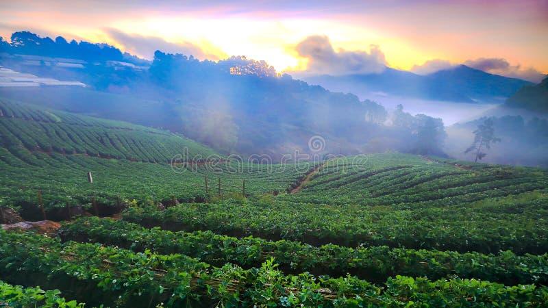 Nebelhafter Morgensonnenaufgang im Erdbeergarten an Doi ANG-khang moun stockbilder