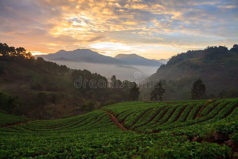 Nebelhafter Morgensonnenaufgang im Erdbeergarten an doi angkhang Berg stockfoto