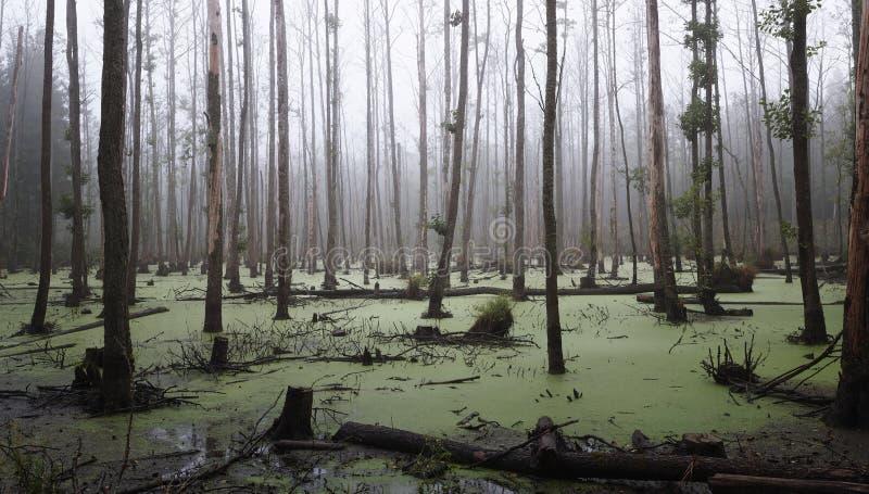 Nebelhafter Sumpf im Wald lizenzfreies stockfoto