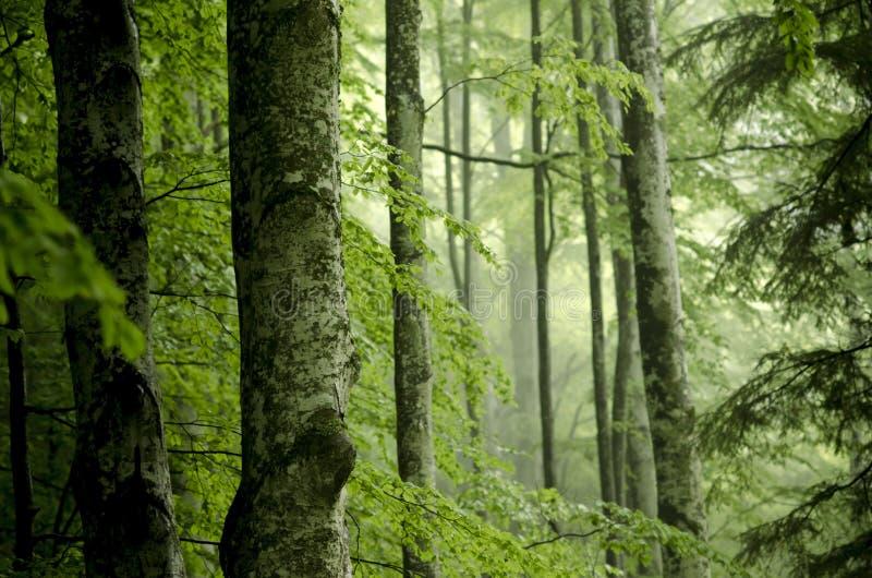 Nebelhafter Wald der Buche mit großen Stämmen im Vordergrund lizenzfreie stockfotos