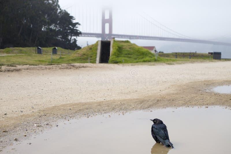 Nebelhaftes golden gate bridge mit Amsel in den Wasserpfützen stockfoto