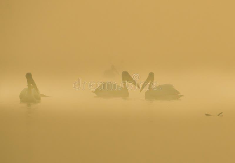 Nebelige Pelikane stockfotos