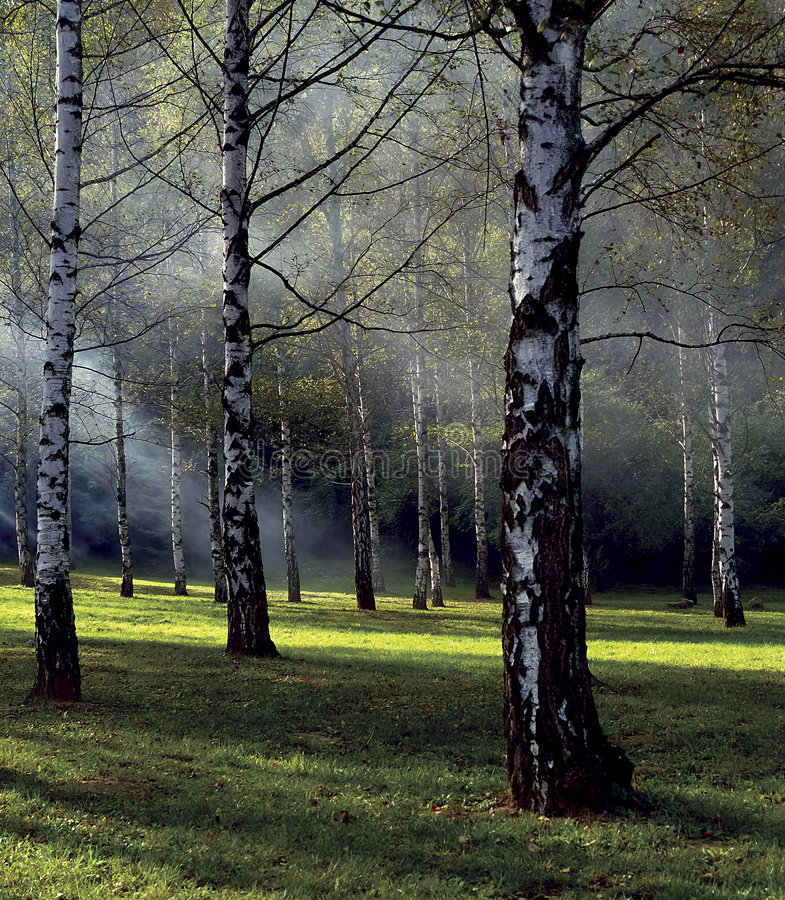 Nebeliger Birken-Wald stockfoto