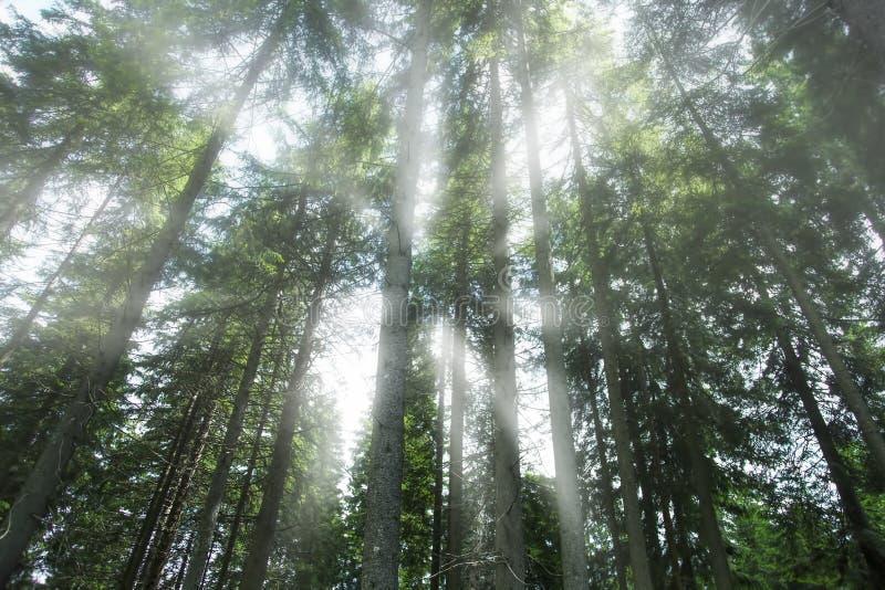 Nebeliger mystischer Wald, schöner nebelhafter Tannenbaumwald mit Sonnenstrahlen, atmosphärische Ansicht, Morgenwald lizenzfreie stockbilder