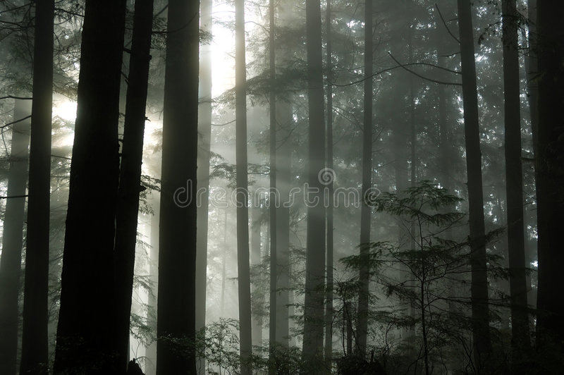Nebeliger Wald stockfotos