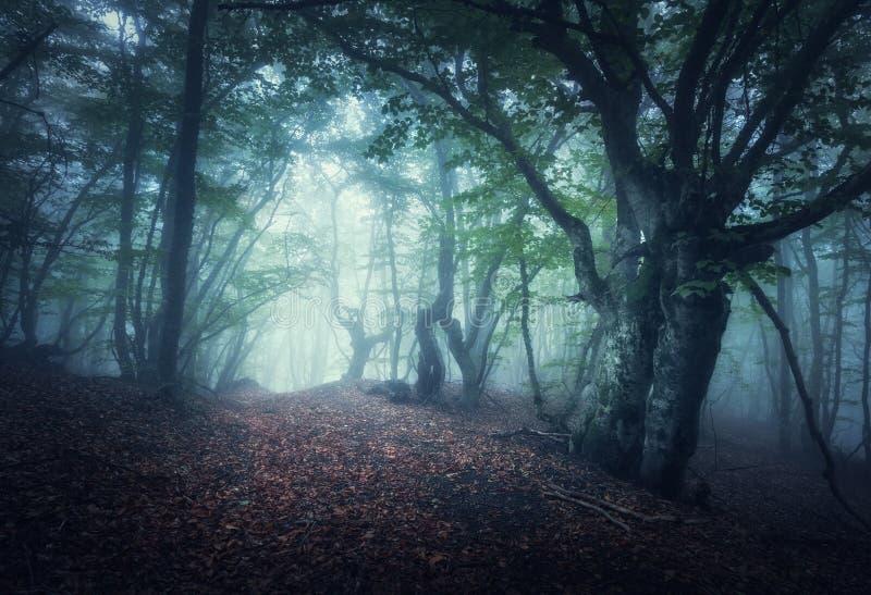 Nebeliger Wald des mystischen Herbstes morgens Alte Bäume lizenzfreies stockfoto