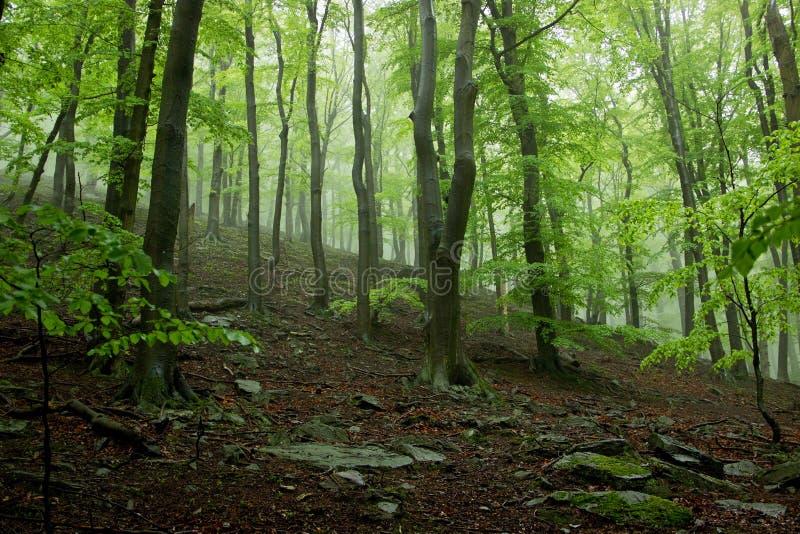 Nebeliger Wald mit großen Bäumen stockfoto