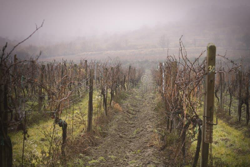 Nebeliger Weinberg des Herbstes stockfoto
