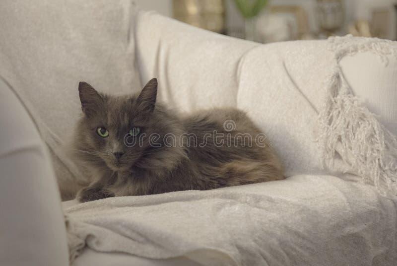 Nebelung猫 免版税图库摄影