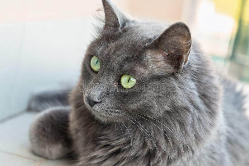 Nebelung cat closeup royalty free stock photography
