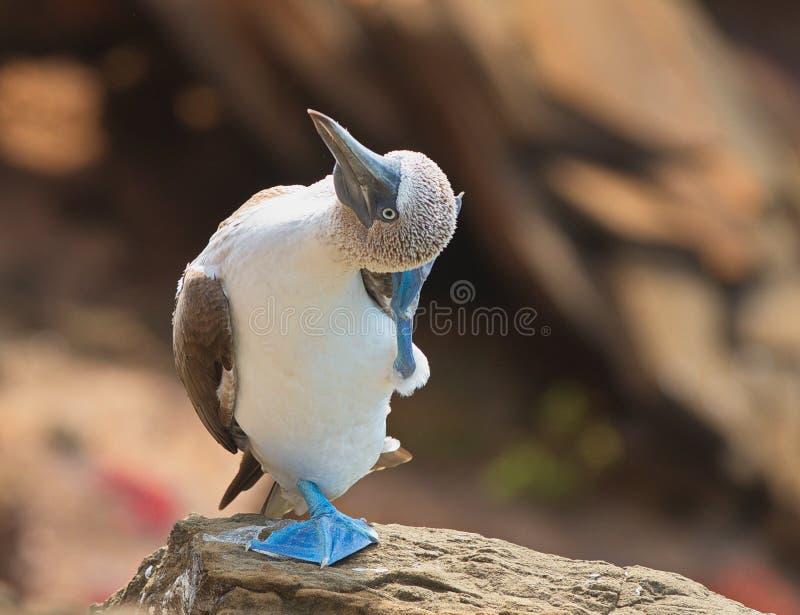 nebouxii Azul-footed do Sula do peito que risca a cabeça imagem de stock royalty free