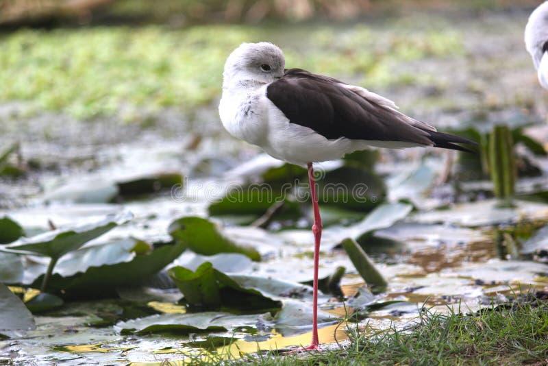 Nebularia commun de tringa de chevalier aboyeur se tenant sur une jambe image libre de droits