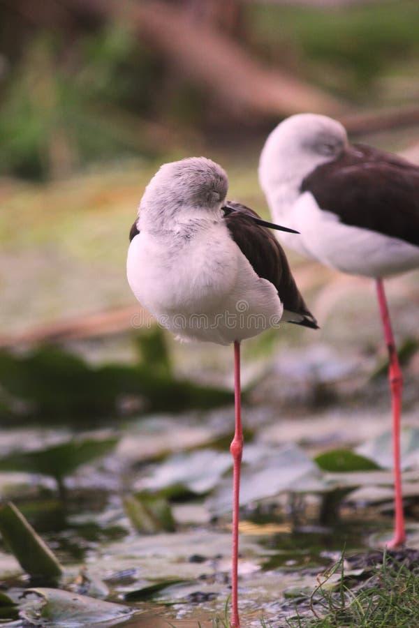 Nebularia commun mignon de tringa du chevalier aboyeur deux se tenant sur une jambe photographie stock