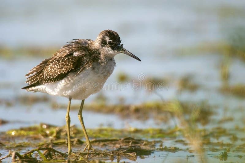 Nebularia de Tringa de chevalier aboyeur sur le rivage de l'eau photographie stock libre de droits