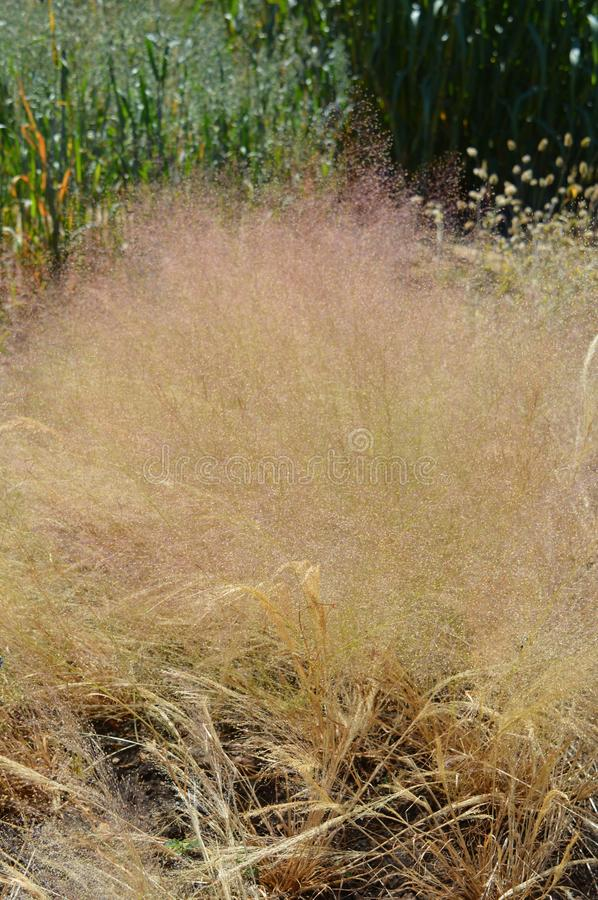 Nebulosa d'Agrostis photographie stock