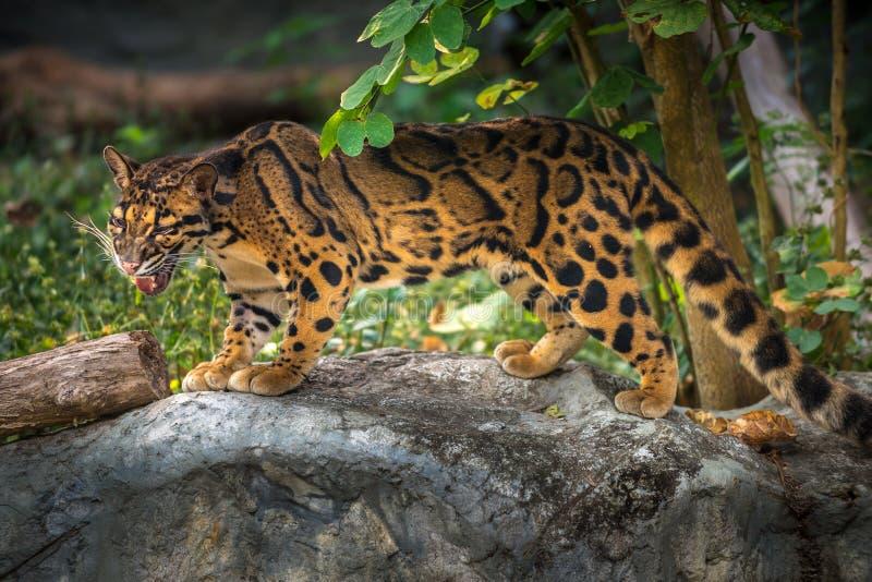 Nebulosa opacifié de Neofelis de léopard photo libre de droits