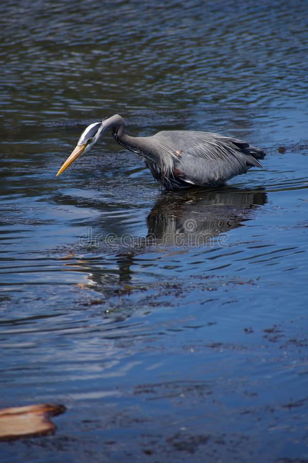 Neck coiled and ready to strike, a great blue heron hunts for fish in Esquimalt Lagoon. Vancouver Island, British Columbia stock images