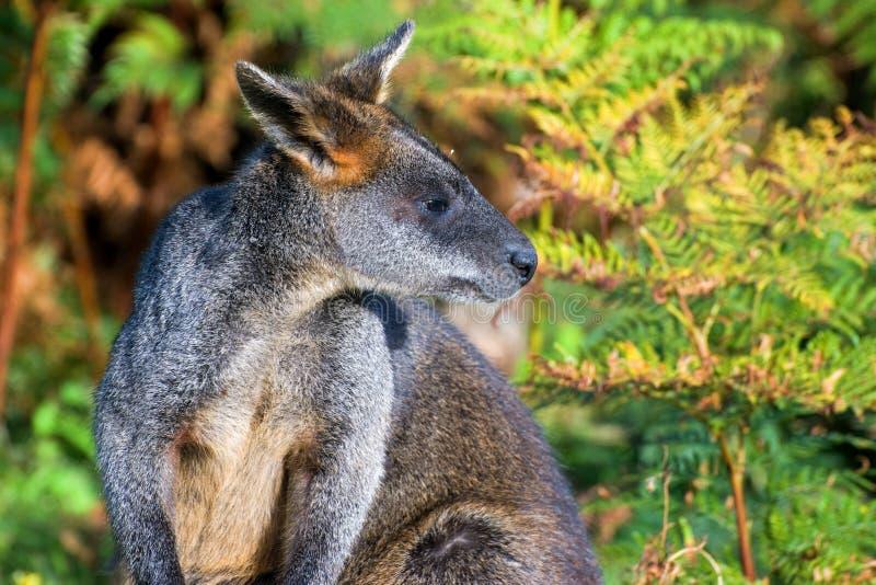 necked κόκκινος wallaby στοκ εικόνες