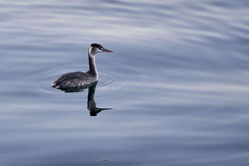 Necked perkoza jeziora ptak obraz royalty free