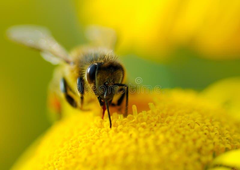 Download Nectar stock photo. Image of macro, april, cream, yellow - 26916412