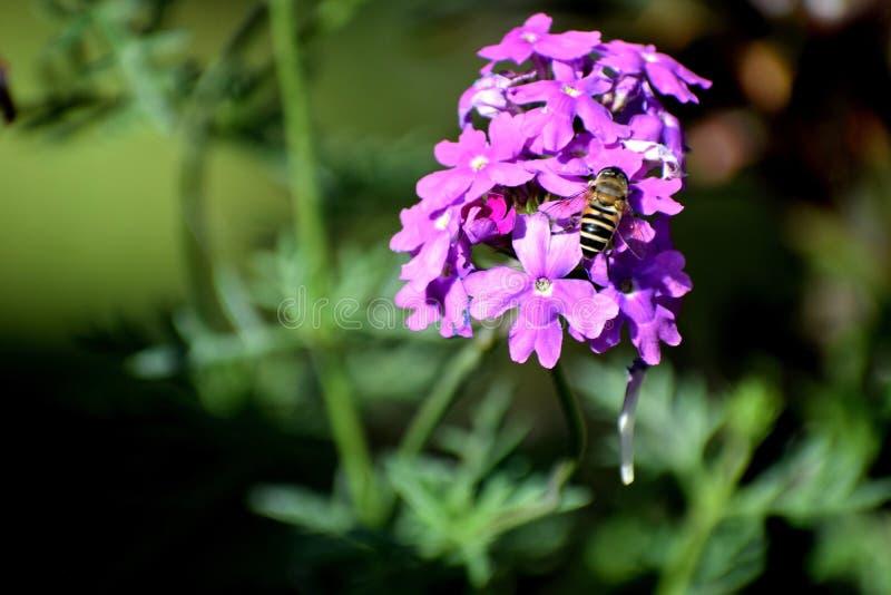 Nectar Collector foto de archivo libre de regalías