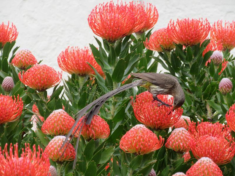Cape Sugarbird - Nectar Feast royalty free stock photos