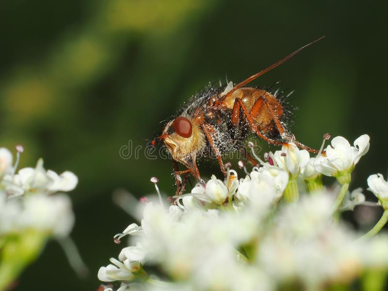 Nectar potable d'abeille photo stock
