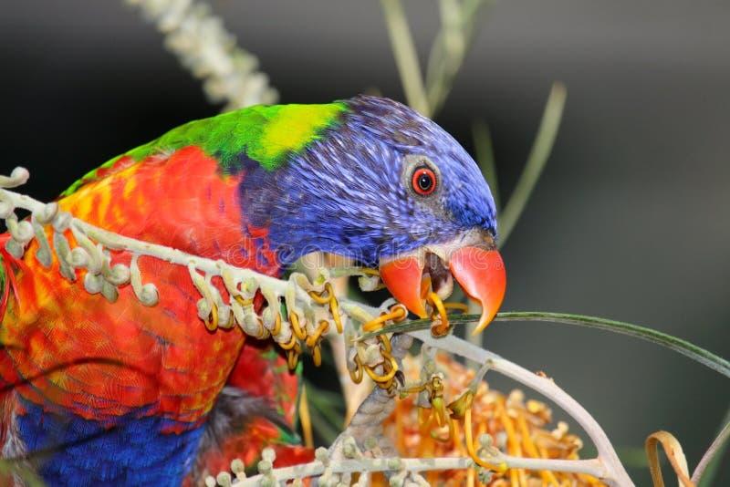 Nectar potable de lorikeet d'arc-en-ciel images libres de droits