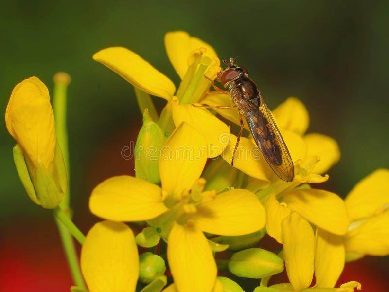 Nectar potable de petite abeille images stock