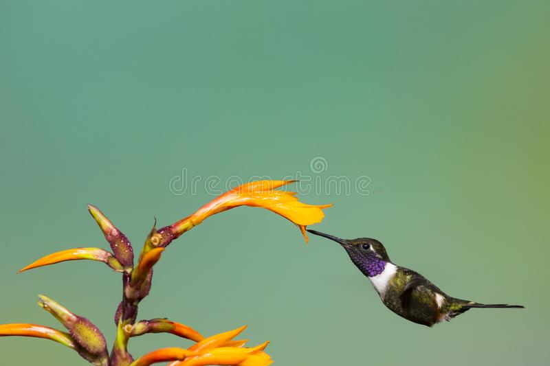 nectar sirotant woodstar Pourpre-throated images stock
