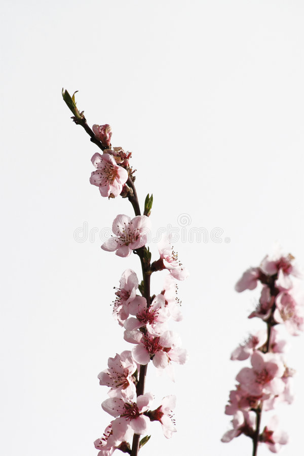 Nectarine flowers royalty free stock image