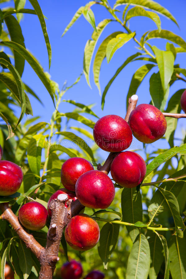 Nectarine fruits on a tree with red color royalty free stock photos