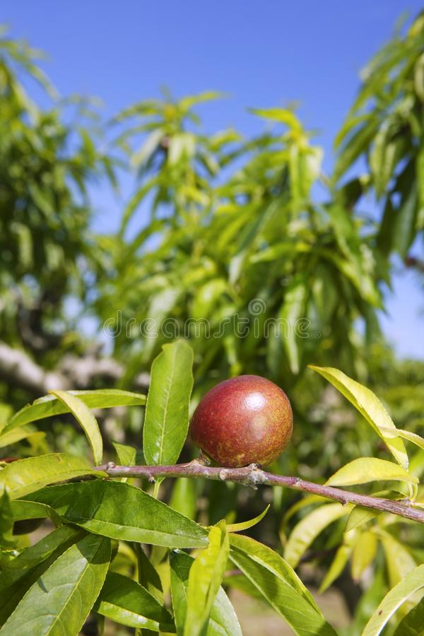 Nectarine peach tree growing in spring blue sky. Agriculture stock photo