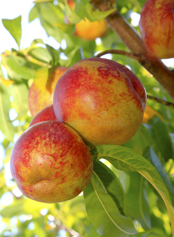 Nectarines mûres sur l'arbre photos stock