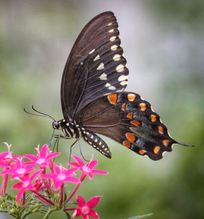 Nectars noirs de papillon de machaon sur Pentas photographie stock libre de droits