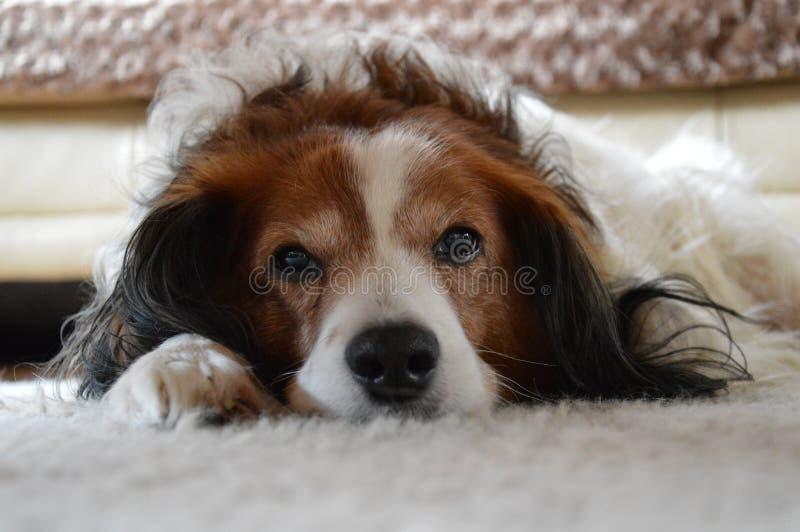 Nederlandse Hond stock afbeelding