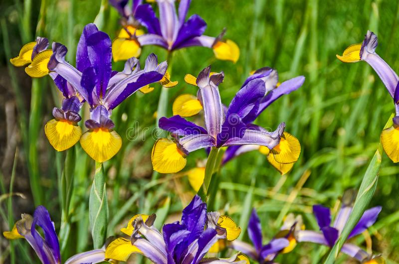 Nederlandse Iris in Purple en Geel stock foto's