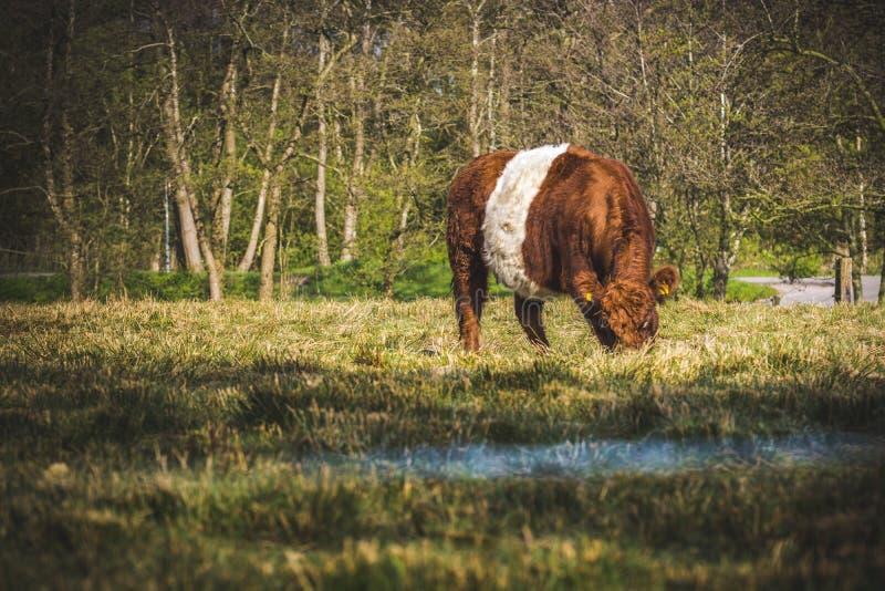 Nederlandse koe stock afbeeldingen