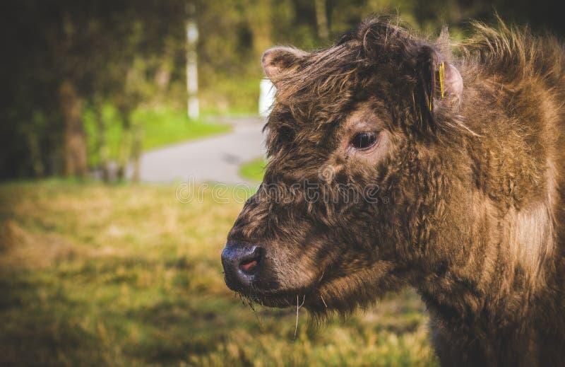 Nederlandse koe stock foto