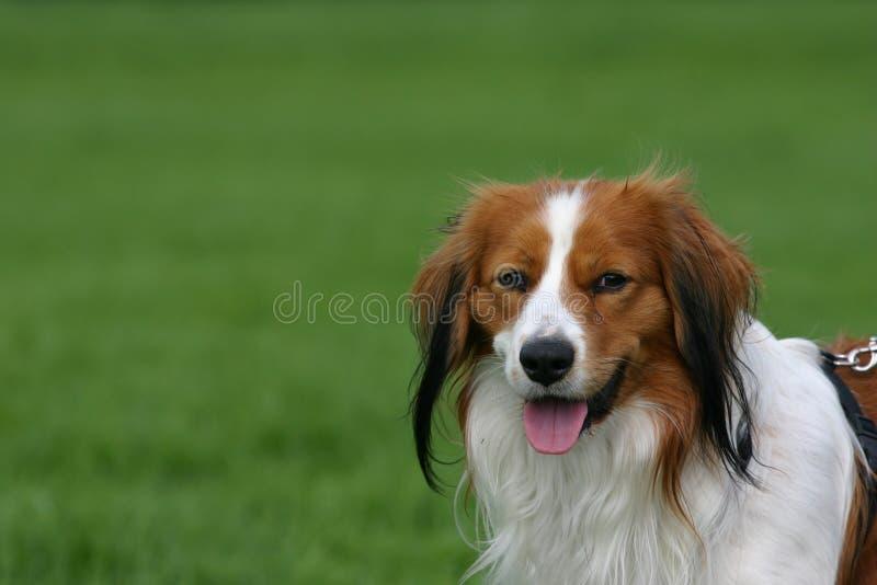 Nederlandse kooikerhond stock afbeeldingen