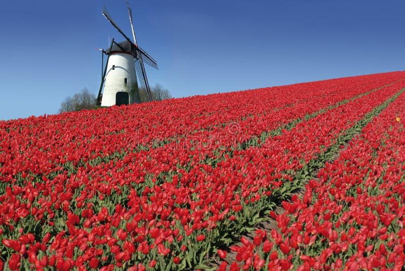 Nederlandse molen en rode tulpen royalty-vrije stock afbeeldingen