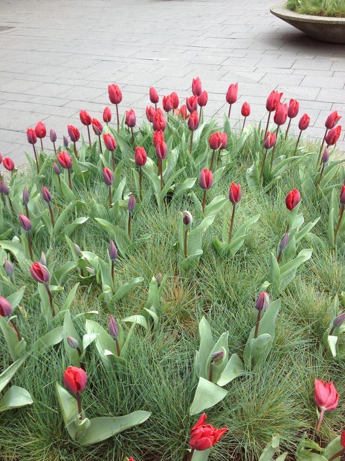 Nederlandse rode tulpen royalty-vrije stock afbeeldingen