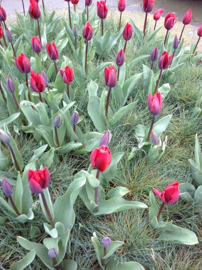 Nederlandse tulpen royalty-vrije stock afbeelding