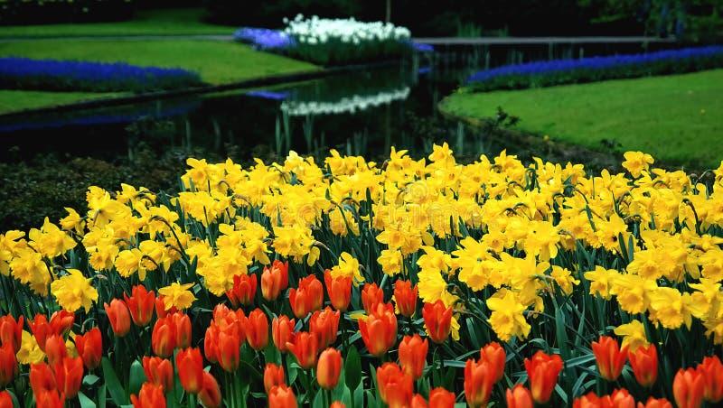 Nederlandse tulpen en narcisses royalty-vrije stock afbeeldingen