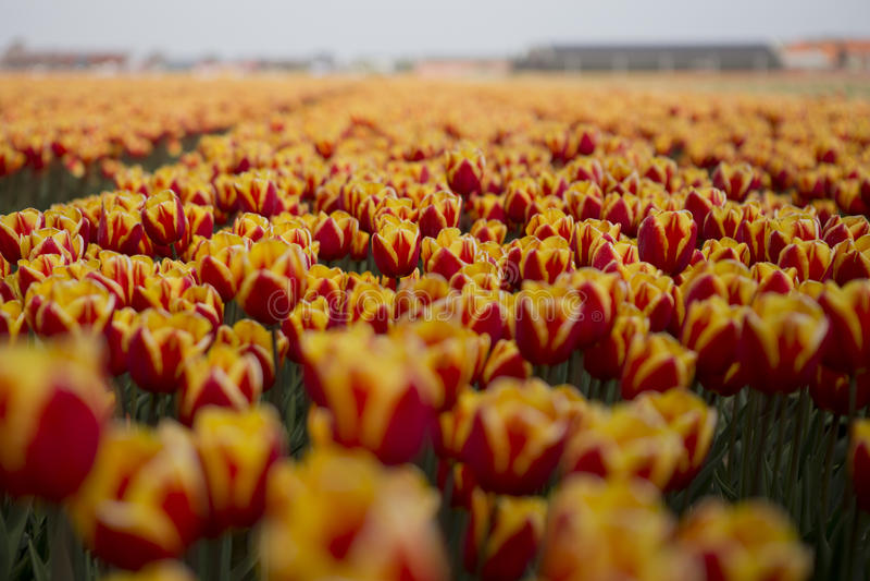 Nederlandse tulpengebieden met bloemen stock afbeelding