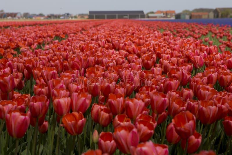 Nederlandse tulpengebieden met bloemen royalty-vrije stock afbeelding
