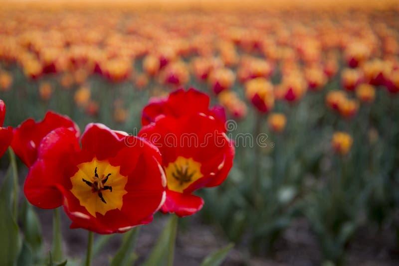 Nederlandse tulpengebieden met bloemen stock foto