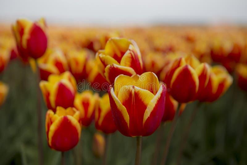 Nederlandse tulpengebieden met bloemen royalty-vrije stock foto